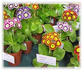 Alpines at English show